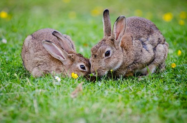 dva králíci