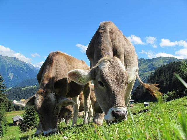 krávy na pastvině